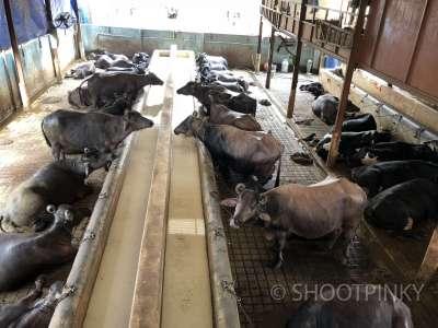 milk farm thane